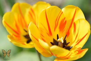 Tulip by VerenSky