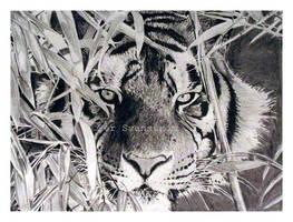 Eyes of a Tiger by Per-Svanstrom