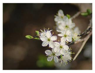 Blackthorn haze by nemi23