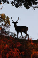 SILOUETTED YOUNG STAG by kaykay1616