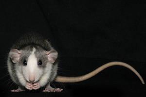rats4 by aka-spirit