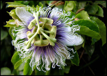 The Lost Garden - Passiflora by ogghunter