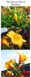 The Secret Life of Daylilies by FallenUmbrella