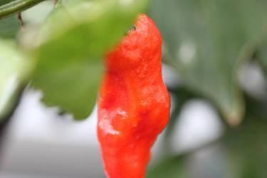 Ghost Pepper by gatekeeper501