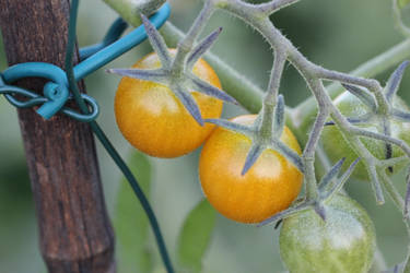 Golden cherry tomatoes. My favorite. by gatekeeper501
