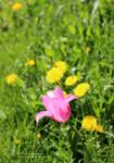 Summer Tulip by DuchesseOfDusk