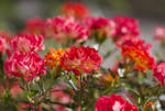 rose day by Bastet-mrr