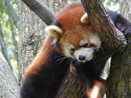 Red Panda by evangeline40003