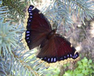Mourning Cloak Butterfly by TheMeanDevilBirdie
