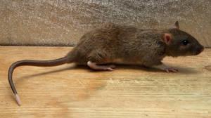 Rat-Stock by NickiStock