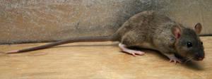 rat-stock-wispa-2 by NickiStock