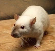Rat-stock-Tia2 by NickiStock