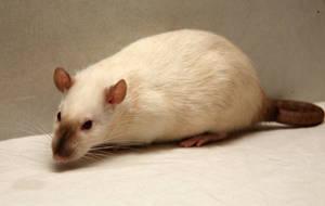 Rat-Stock-1 by NickiStock