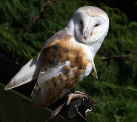 Owl1 by NickiStock