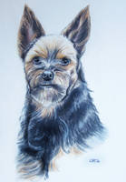 Yorkshire Terrier Chip by lizzardhunter