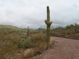 Cactus and an off-road trail by JasonYoungdale