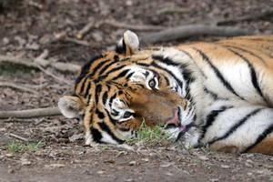 Resting by Tigerlover4