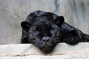 Black jaguar 2 by Tigerlover4