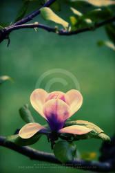 Magnolia by Finvara