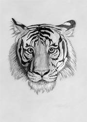 Tiger drawing by S. Fairbanks by sfairbanks