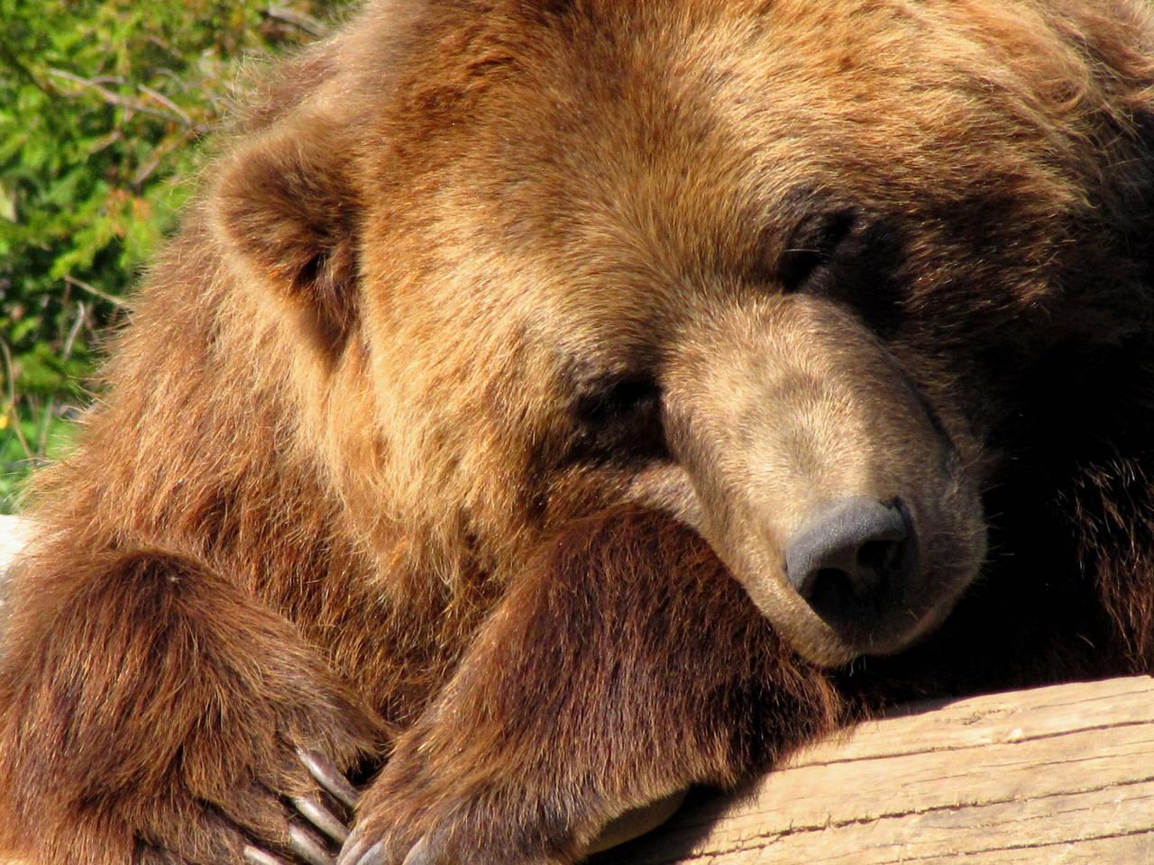 Sleepy bear by CierraFrye