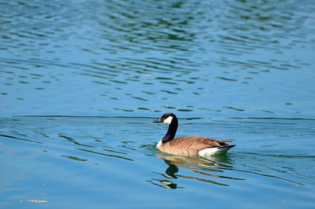Canada Goose by CierraFrye