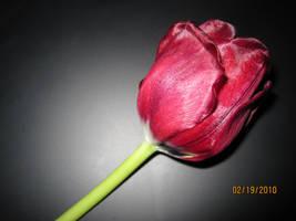Tulip-Red by SnapshotsAtMidnight