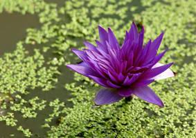 lotus 8 by Sophie-Y