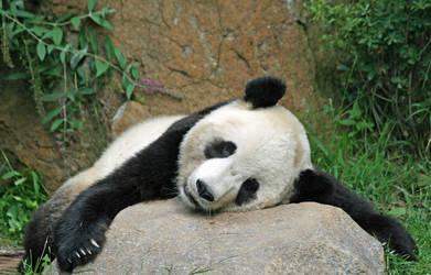 panda  13 by Sophie-Y