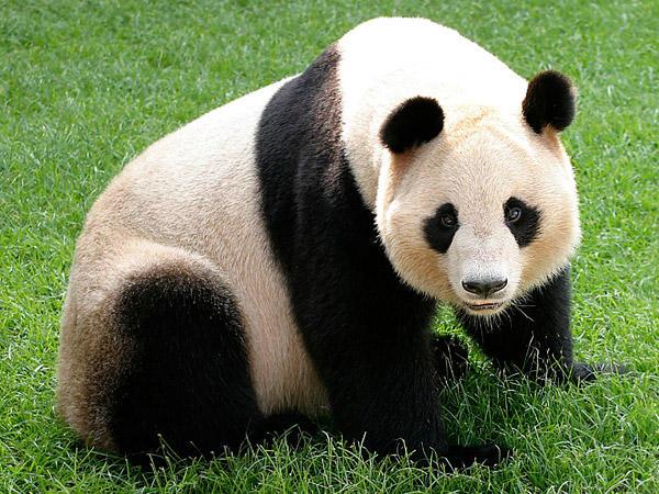 Panda! by PANDA-monium1