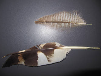Bubo zeylonensis by Hofkens