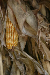 NATURE Smokey Mountain Corn by jimmylee1562