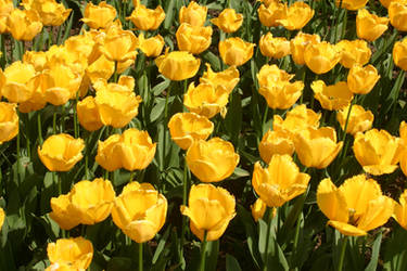 NATURE LONDON TULIPS 2 by jimmylee1562