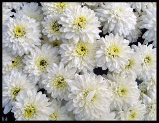 Whiteflowers by QueenOftheNight341