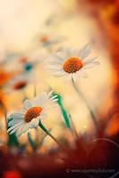 Happy daisies by UgurDoyduk