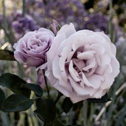 Lavender Love by AtomicBrownie