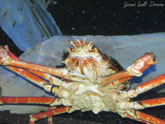 Spider Crab by Soll-DenneGallery