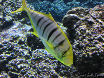 Golden Trevally by Soll-DenneGallery