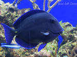 Blue Caribbean Tang by Soll-DenneGallery