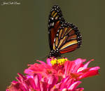 Monarch Butterfly 1 by Soll-DenneGallery