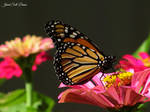 Monarch Butterfly 2 by Soll-DenneGallery