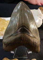 Megalodon Tooth by Soll-DenneGallery