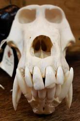 Baboon Skull by Soll-DenneGallery
