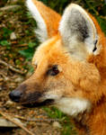 Maned Wolf by Delragon