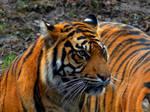 Panthera tigris sumatrae - Sumatratiger - 33 by Delragon