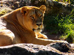 Lioness by Delragon