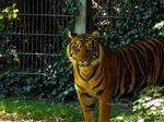 Tiger by Delragon
