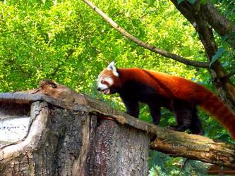 Red Panda by Delragon