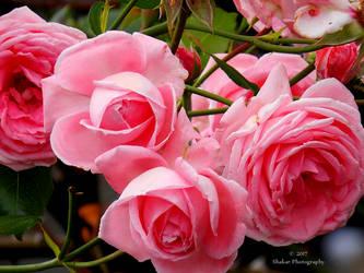 Rose by Delragon