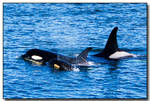 New Orca baby by ricmerry